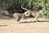 Cheetah_Run_Mashatu_2019_Botswana_0016