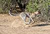 Cheetah_Run_Mashatu_2019_Botswana_0003