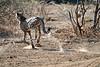 Cheetah_Run_Mashatu_2019_Botswana_0002