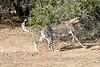 Cheetah_Run_Mashatu_2019_Botswana_0004