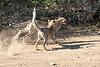 Cheetah_Run_Mashatu_2019_Botswana_0008