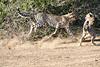 Cheetah_Run_Mashatu_2019_Botswana_0006