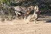 Cheetah_Run_Mashatu_2019_Botswana_0007