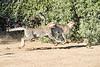 Cheetah_Run_Mashatu_2019_Botswana_0018