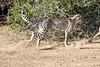 Cheetah_Run_Mashatu_2019_Botswana_0005