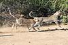 Cheetah_Run_Mashatu_2019_Botswana_0015