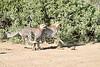 Cheetah_Run_Mashatu_2019_Botswana_0019