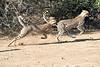 Cheetah_Run_Mashatu_2019_Botswana_0014
