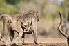 Baby_Baboon_Suckling_To_Go_Hide_Mashatu_2019_Botswana_0016