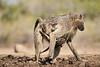 Baby_Baboon_Suckling_To_Go_Hide_Mashatu_2019_Botswana_0005