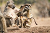 Baby_Baboon_Suckling_at_Hide_Mashatu_2019_Botswana_0043