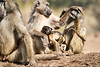 Baby_Baboon_Suckling_at_Hide_Mashatu_2019_Botswana_0046