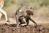 Baby_Baboon_Suckling_To_Go_Hide_Mashatu_2019_Botswana_0003