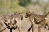 Baby_Baboon_Suckling_To_Go_Hide_Mashatu_2019_Botswana_0009