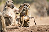 Baby_Baboon_Suckling_at_Hide_Mashatu_2019_Botswana_0042