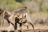 Baby_Baboon_Suckling_To_Go_Hide_Mashatu_2019_Botswana_0012
