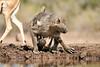 Baby_Baboon_Suckling_To_Go_Hide_Mashatu_2019_Botswana_0001