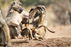 Baby_Baboon_Suckling_at_Hide_Mashatu_2019_Botswana_0044