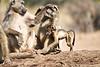 Baby_Baboon_Suckling_at_Hide_Mashatu_2019_Botswana_0040