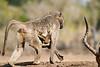 Baby_Baboon_Suckling_To_Go_Hide_Mashatu_2019_Botswana_0017