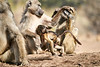 Baby_Baboon_Suckling_at_Hide_Mashatu_2019_Botswana_0045