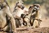 Baby_Baboon_Suckling_at_Hide_Mashatu_2019_Botswana_0047