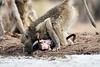 Baby_Baboon_Eating_at_Hide_Mashatu_2019_Botswana_0017