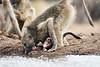 Baby_Baboon_Eating_at_Hide_Mashatu_2019_Botswana_0005
