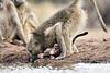 Baby_Baboon_Eating_at_Hide_Mashatu_2019_Botswana_0012
