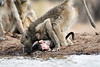 Baby_Baboon_Eating_at_Hide_Mashatu_2019_Botswana_0015