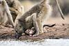 Baby_Baboon_Eating_at_Hide_Mashatu_2019_Botswana_0009