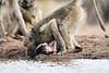 Baby_Baboon_Eating_at_Hide_Mashatu_2019_Botswana_0030