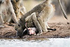 Baby_Baboon_Eating_at_Hide_Mashatu_2019_Botswana_0018