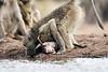 Baby_Baboon_Eating_at_Hide_Mashatu_2019_Botswana_0020