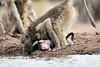Baby_Baboon_Eating_at_Hide_Mashatu_2019_Botswana_0016