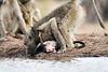 Baby_Baboon_Eating_at_Hide_Mashatu_2019_Botswana_0022