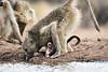 Baby_Baboon_Eating_at_Hide_Mashatu_2019_Botswana_0003