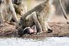 Baby_Baboon_Eating_at_Hide_Mashatu_2019_Botswana_0028