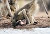 Baby_Baboon_Eating_at_Hide_Mashatu_2019_Botswana_0032