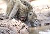 Baby_Baboon_Drinking_Pond_Delivery_Mashatu_2019_Botswana_0006