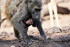 Baby_Baboon_Drinking_Pond_Delivery_Mashatu_2019_Botswana_0005