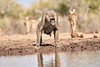 Baby_Baboon_Drinking_Pond_Delivery_Mashatu_2019_Botswana_0026