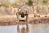 Baby_Baboon_Drinking_Pond_Delivery_Mashatu_2019_Botswana_0028