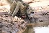 Baby_Baboon_Drinking_Pond_Delivery_Mashatu_2019_Botswana_0017