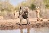 Baby_Baboon_Drinking_Pond_Delivery_Mashatu_2019_Botswana_0025
