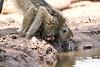 Baby_Baboon_Drinking_Pond_Delivery_Mashatu_2019_Botswana_0010