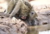 Baby_Baboon_Drinking_Pond_Delivery_Mashatu_2019_Botswana_0022