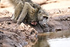 Baby_Baboon_Drinking_Pond_Delivery_Mashatu_2019_Botswana_0018
