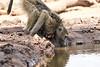 Baby_Baboon_Drinking_Pond_Delivery_Mashatu_2019_Botswana_0013