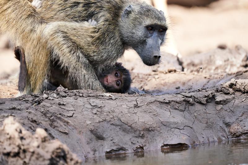 Baby_Baboon_Drinking_Pond_Delivery_Mashatu_2019_Botswana_0001